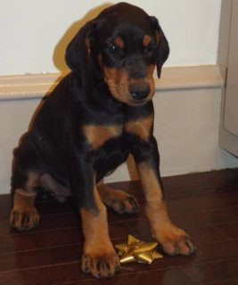 Doberman Pinscher puppies for Adoption76