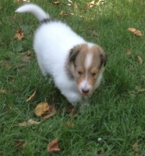 Border Collie puppies for Adoption36