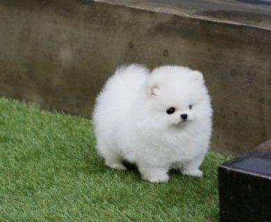 Friendly Teacup Pomeranian Puppies Adoption978