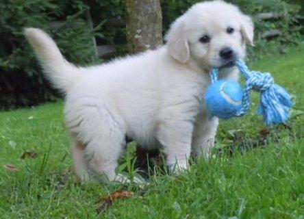 Golden Retriever Puppies for Sale8767