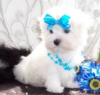 Adorable Maltese puppies for Adoption87