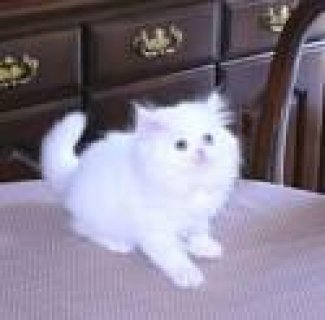 wWhite & Solid colored Persian Kittens For adoption