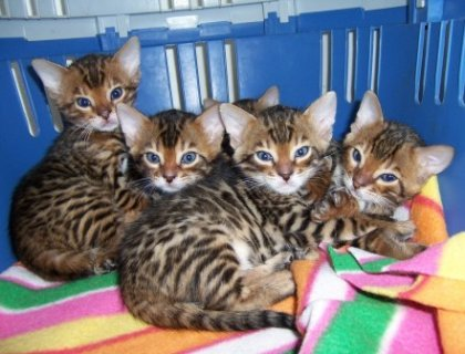 Adorable Bengal Kittens for Adoption.23
