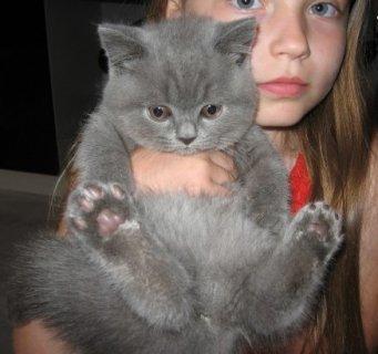 British Short Hair Kittens for Adoption34