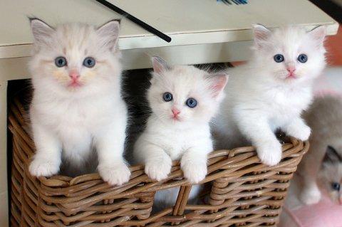 Sweet White Persian Kittens for adoption2