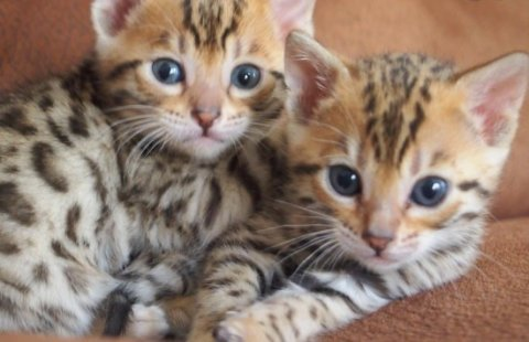 BENGAL KITTENS AVAILABLE8