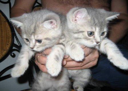 British Short-haired Kittens seeking good homes45