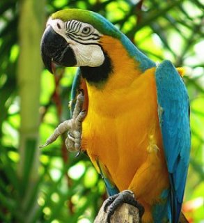 Blue & Gold Macawer76