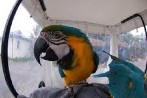 Blue and Gold Macaw Parrots out for adoptionh
