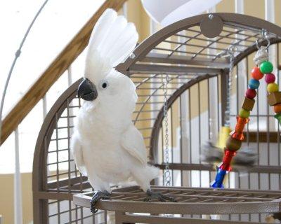 Cockatoo parrots for adoptionqwq3