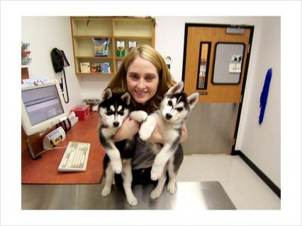 Male and Female Siberian Husky mixed Puppies676