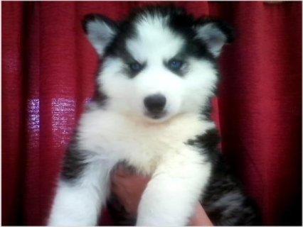 Pretty Blue Eyes Siberian Husky Male & Female Puppiesi