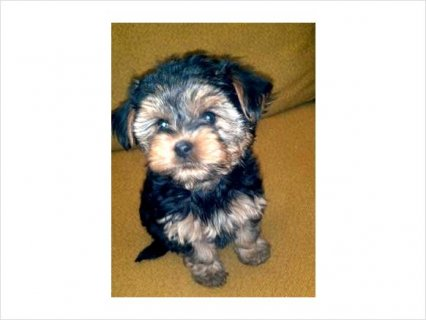 Yorkie puppies for good home78