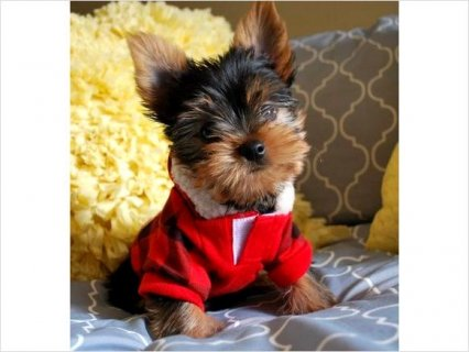 Adorable teacup yorkie puppies free for home75