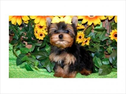 Precious Yorkie puppies available7