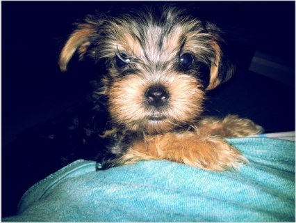Gorgeous YORKIE PUPPIES!8