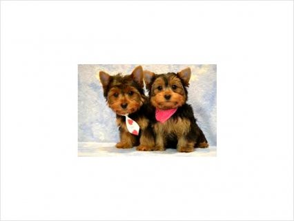 Adorable AKC Registered Yorkie Puppies65