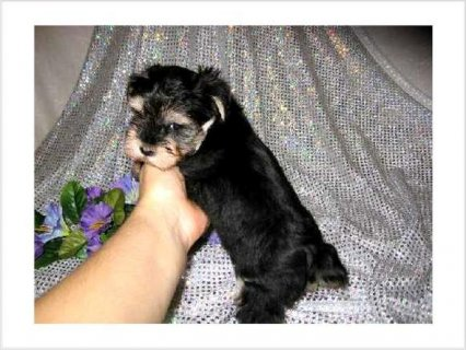 Dream come True Yorkie Puppies Ready to go4766