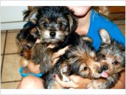 Family raised Party Yorkie puppies6