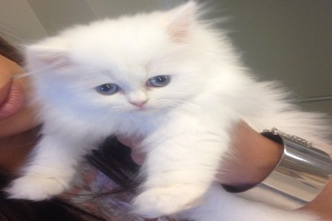persian kittens looking for a home2