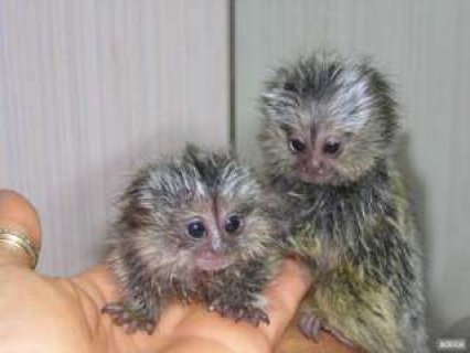 Finger babies marmoset and capuchin monkeys for adoption,..342