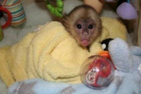 Beautiful Female Capuchin Monkey for Sale