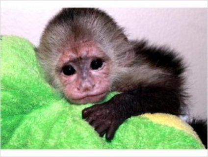 Capuchin Monkeys For Sale789