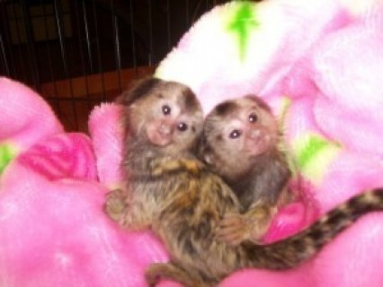 Pygmy Marmoset Monkeys for sale80989