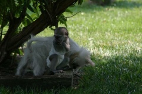 Intelligent Capuchin Monkey for Salety