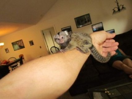 Charming Marmoset Monkey Availableerw