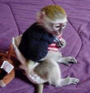 Gorgeous Capuchin Monkeyeq