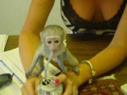 Agian 2 Capuchin Monkeys