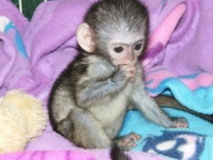 Cute and Adorable Capuchin Monkeydd