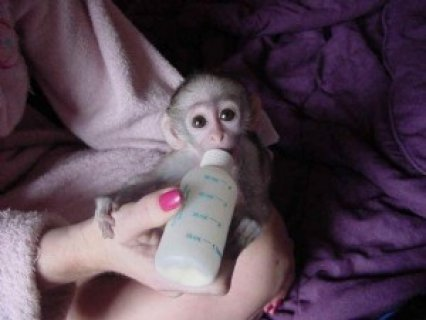 White Face Marmoset Monkeysa