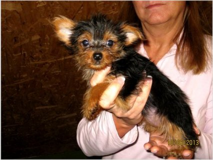 Yorkie puppies Puppies To Go Now