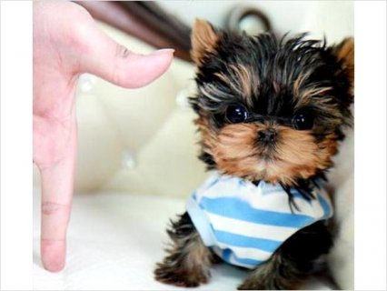 Teacup Yorkie puppies Ready Now6