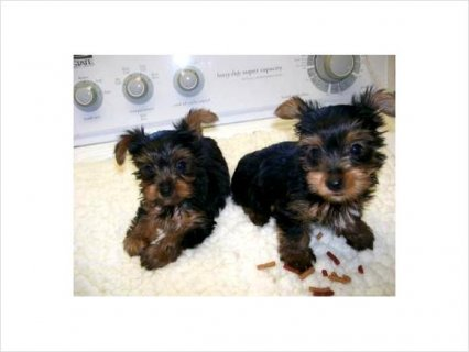 Gorgeous Little Face Tiny Body Yorkie puppies*****