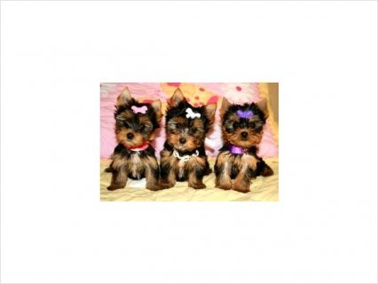 Cute YORKIE PUPPIES AVAILABLE55