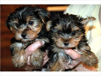 Beautiful Intelligent Health Guaranteed Pure Yorkie Puppies. a