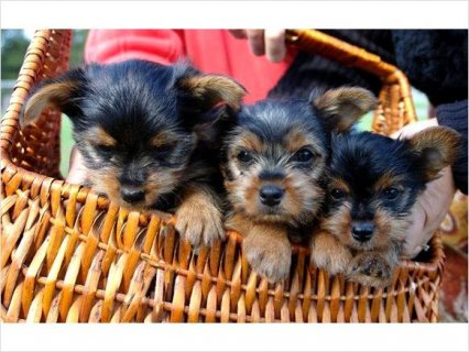 Very friendly Yorkie Puppies Available 55