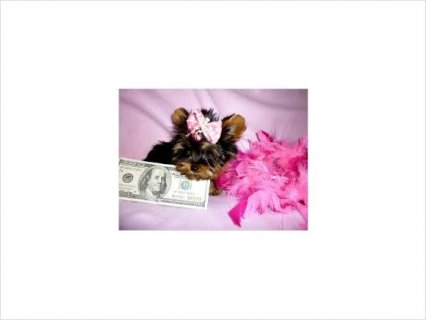 Pretty Toy Yorkie Puppies Price 1