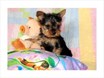 Top Quality Teacup Yorkshire-Terrier Puppiesss