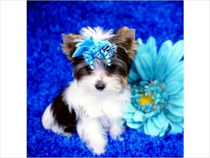 White and Black Parti Yorkie Puppy5