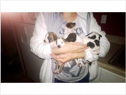 Chiweenie puppies for sale2