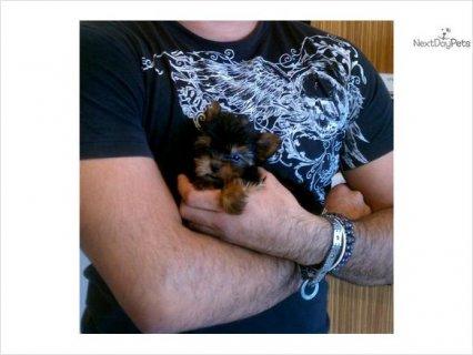 Tiny Tiny Yorkie Girl