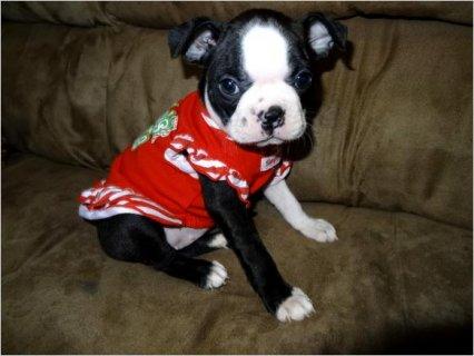 Akc & CKC Boston Terrier Puppies33