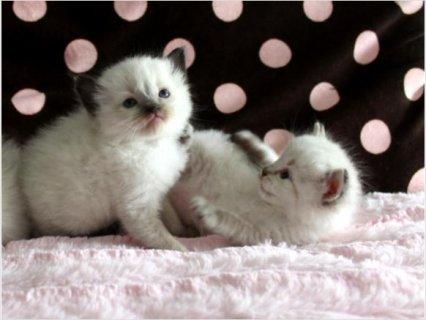 Ragdoll & Ragamuffin Kittens11