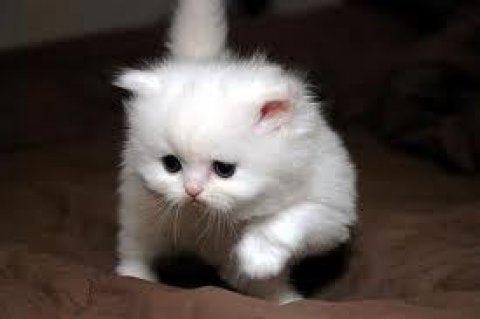 صور Two White Persian Kittenstett 1