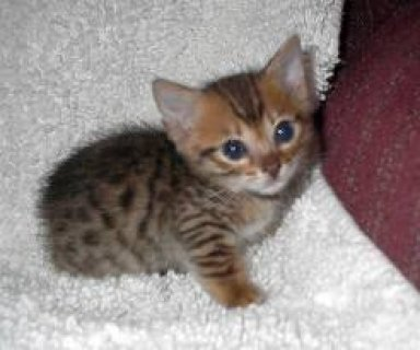 Bengal kittens for sale4444