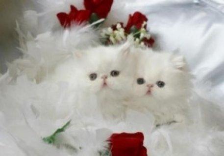 2 Cute Persian kittens.y